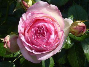 Rosa_'Eden_Rose'_J1